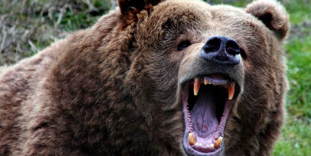 Mężczyzna cudem przeżył atak niedźwiedzia w Bieszczadach
